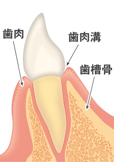 ①歯と歯肉の間がないのが健康な歯です